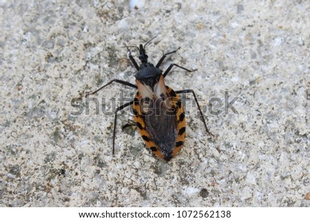 Black and brown Kissing bug.