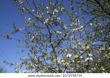 Cherry blossoms against a blue sky Flowers of a tree on branches. The Cherry Orchard. #1072598759
