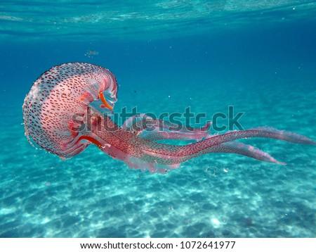 Tuscany, Italy. Pelagia noctiluca Jellyfish in the sea of Elba Island Royalty-Free Stock Photo #1072641977
