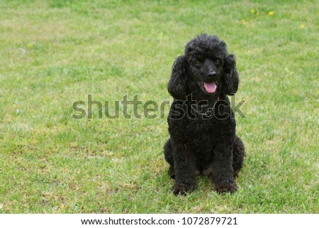 Cute toy poodle #1072879721
