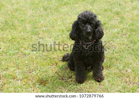 Cute toy poodle #1072879766