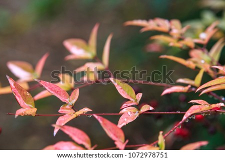 red autumn berries blooming on a Heavenly Bamboo plant in Busan, South Korea, Busan University. Nandina domestica in spring.   #1072978751
