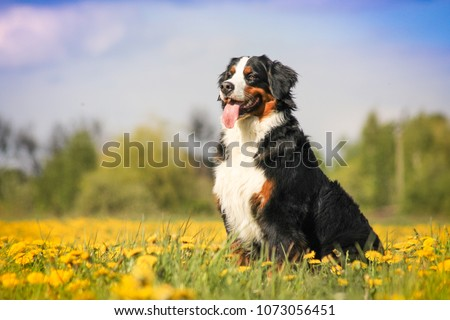 Happy bernese mountain dog in beautiful spring flowerd field. Spring flovers and dog. #1073056451