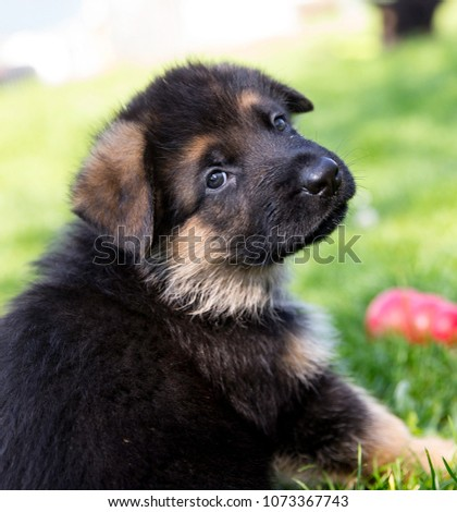 German Shepherd Puppy #1073367743