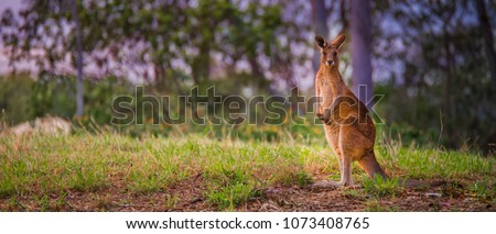 Australian Red kangaroo #1073408765