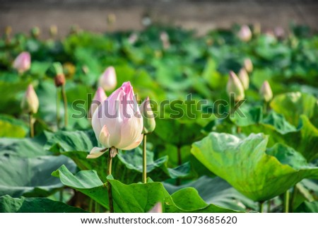 beautiful Lotus flower in the natural pond #1073685620