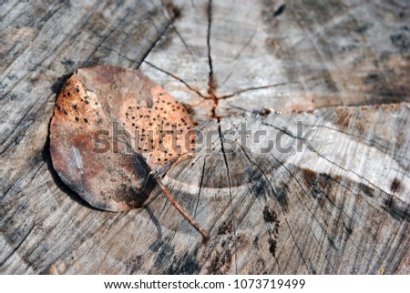 Old cracked tree trunk with brown dry pear tree leaf on it, top view, brown blurry background, close up detail  #1073719499