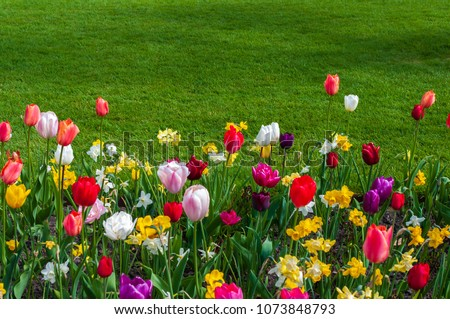 Spring flower bed filled with tulips and narcissi at the edge of a green lawn.