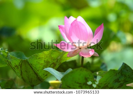 Beautiful pink lotus #1073965133