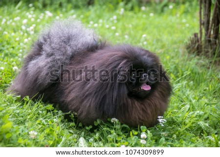 cute black puppy funny pekingese dog on grass #1074309899