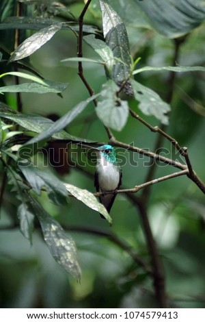 Andean emerald (Agyrtria franciae) hummingbird perched on a branch in a garden in Mindo, Ecuador #1074579413