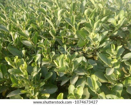 green leaf of plant #1074673427