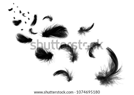 Beautiful black feathers floating in air isolated on  white background  #1074695180