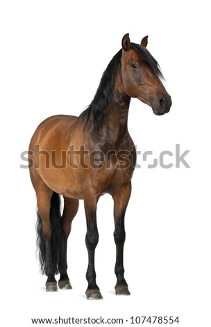 Mixed breed of Spanish and Arabian horse, 8 years old, portrait standing against white background #107478554