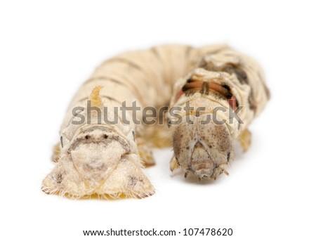 Silkworm larvae, Bombyx mori, against white background #107478620