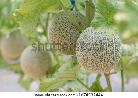 Fresh melons or green melons or cantaloupe melons plants growing in greenhouse supported by string melon nets. #1074932444