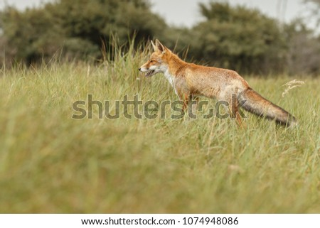 Red fox in nature on a sunny day #1074948086