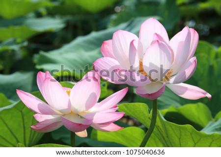 Lotus flower close-up landscape #1075040636