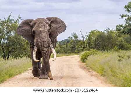 African bush elephant in Kruger national park, South Africa ; Specie Loxodonta africana family of Elephantidae #1075122464