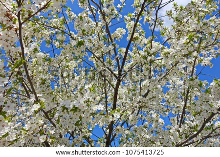 Flowers, branches and trunks of cherry trees on blue sky. Natural impressionism. #1075413725
