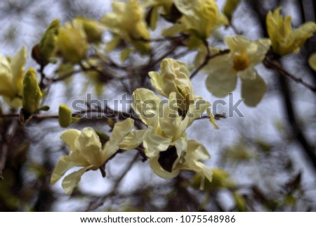 Magnolia flower on a blurry bokeh background. Flowers Magnolia flowering against a background of flowers. Soft focus image of blossoming magnolia flower in spring time. #1075548986