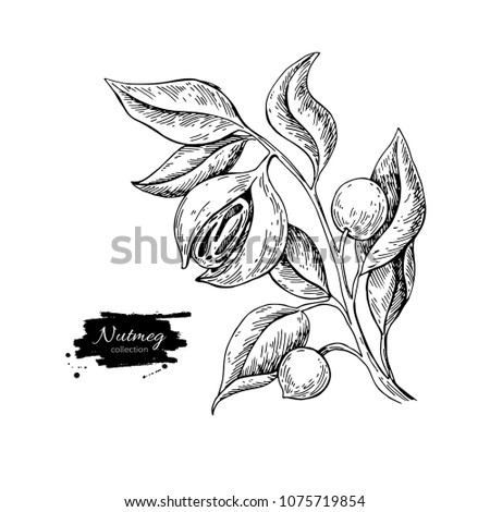 Nutmeg plant branch vector drawing. Botanical illustration. Vintage hand drawn spice sketch. Herbal seasoning ingredient, culinary and cooking flavor. Royalty-Free Stock Photo #1075719854