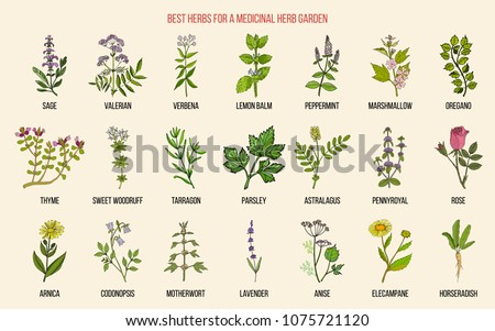 Best herbs for a medicinal garden. Vector hand drawn color collection #1075721120