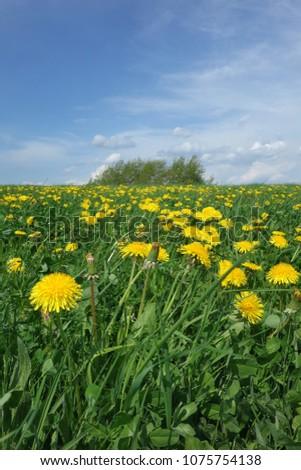 Dandelion meadow in Spring #1075754138