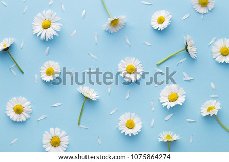 Daisy pattern. Flat lay spring and summer chamomile flowers on a blue background. Repetition concept. Top view
