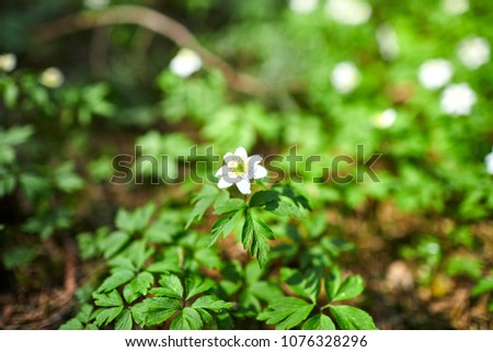The first spring flowers in the forest - white snowdrops #1076328296