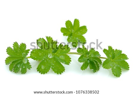Lady's mantle leaves on white background #1076338502