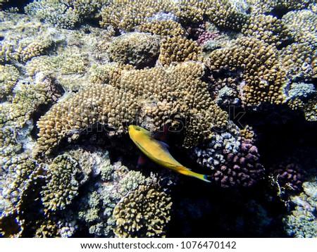 Coral fish, Red sea, Sharm El Sheikh, Egypt #1076470142