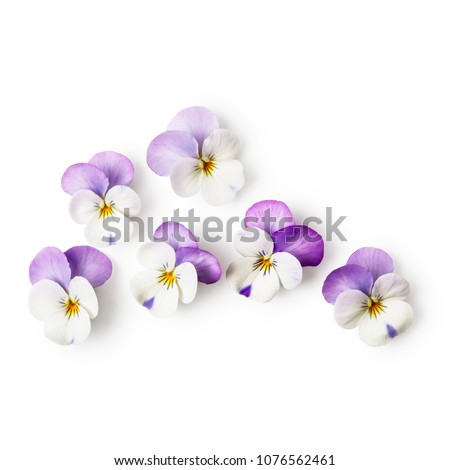 Pansy flowers or spring garden viola tricolor on white background clipping path included. Flower arrangement and floral design. Top view, flat lay
