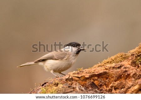 Marsh tit perched on a branch with moss. #1076699126