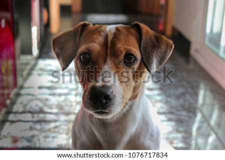 Jack Russell Terrier, 12 months old, sitting in front of white background. #1076717834