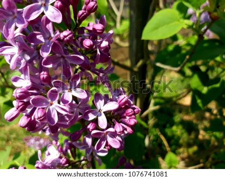 purple lilacs on green background #1076741081