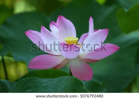 beautiful pjnk lotus #1076792480