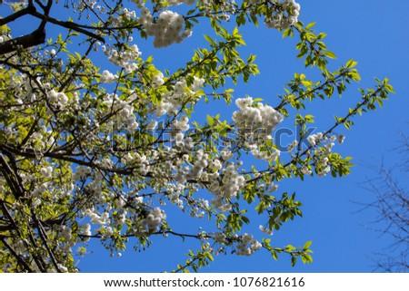 Beautiful white blossom on a tree. #1076821616