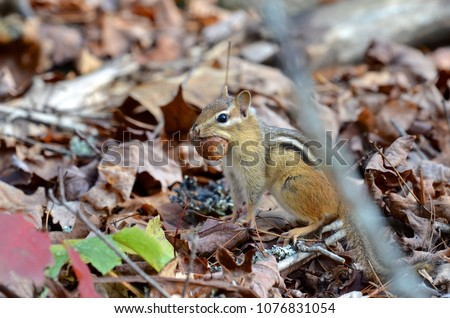 Closeup of a chipmunk caught collecting acorns in autumn in the woods of New Hampshire, USA