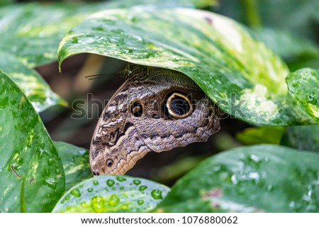 Caligo eurilochus or the forest giant owl butterfly under green leaves #1076880062
