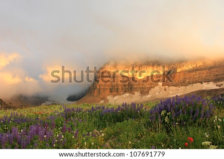 Scenic field of Lupin in the Wasatch mountains of Utah. #107691779