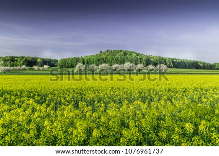 yellow canola fields and blooming apple trees #1076961737