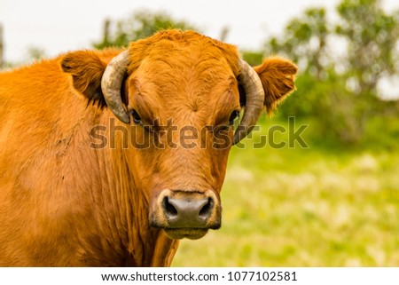 cow head brown #1077102581
