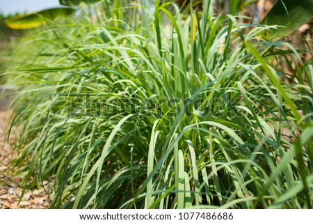 Lemongrass or Lapine or West Indian or Cymbopogon citratus were planted on the ground. It is a shrub, its leaves are long and slender green. It is an herb which was made into food and medicine. #1077486686