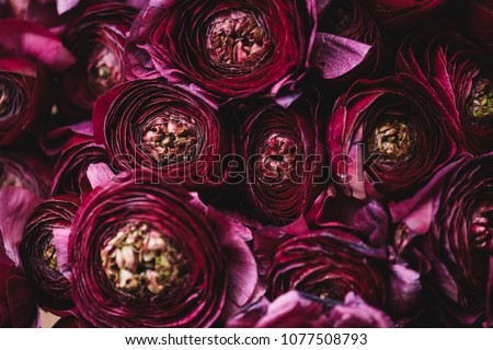Beautiful tender blossoming dark purple Ranunculus flowers texture, close up view #1077508793