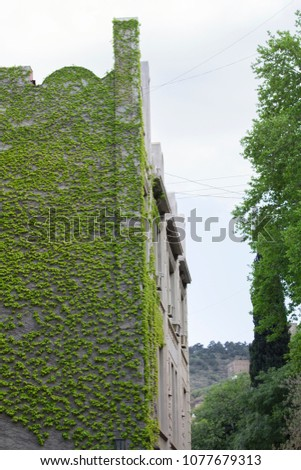 Ivy plant climbing a wall  of a building #1077679313