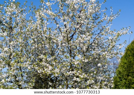 large cherry tree in the spring sun in full bloom of white flowers close-up on full frame against a blue sky #1077730313