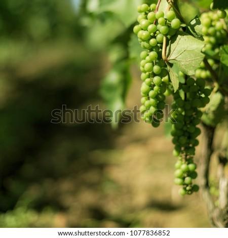 Vine grapes seasonal food and drink background #1077836852