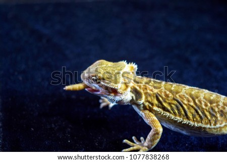 male bearded dragon swollowing a delicious grasshopper  #1077838268