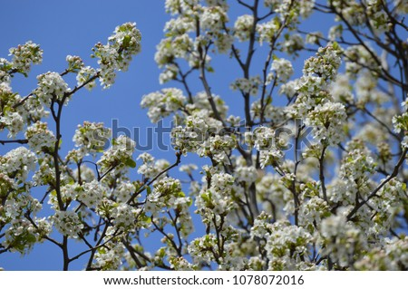 White spring tree blossoms against a bright blue sky background #1078072016